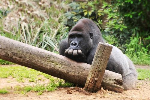 gorilla-annoiato-annoiarsi-a-lavoro-ufficio.jpg